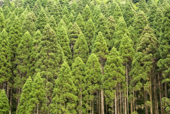 エバーグリーン-常緑樹